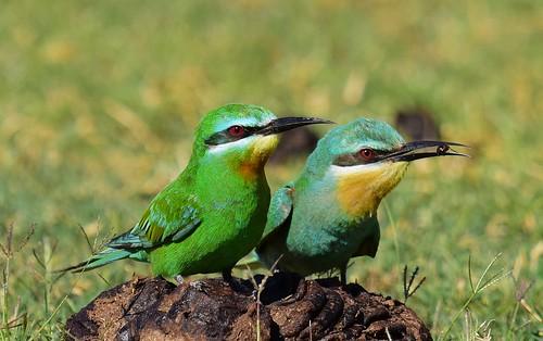 bluecheekedbeeeater meropspersicus thagaledam botswana