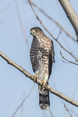 sharpshinnedhawk armlederpark ohio cincinnati hamiltoncounty hawk accipiterstriatus accipiter