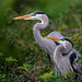 Great Blue Heron - Photo (c) Diana Robinson, some rights reserved (CC BY-NC-ND)