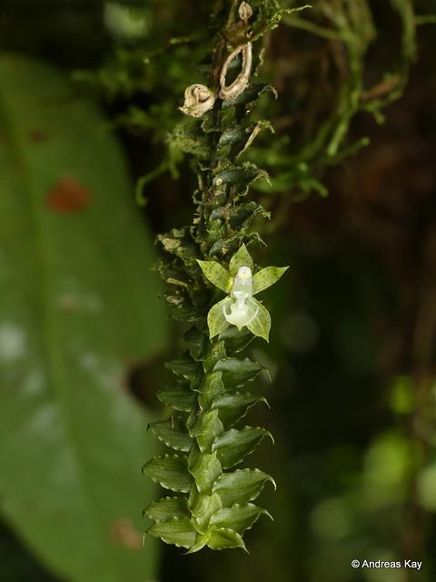 Dichaea viridula