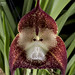 Monkey-Face Orchid - Photo (c) faatura, some rights reserved (CC BY-NC-ND)