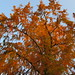 Dawn Redwood - Photo (c) Andreas Rockstein, some rights reserved (CC BY-SA)