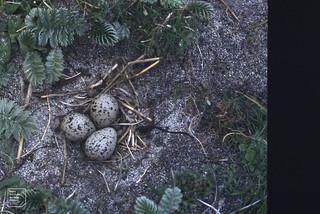 Ringed plover's nest on arable. Drimsdale, 1985