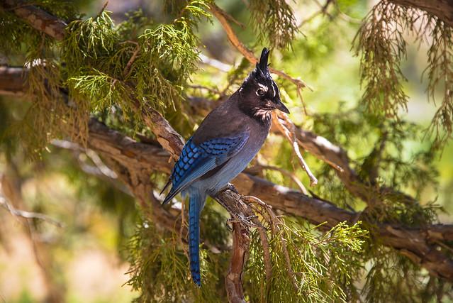 Bluebird near Navajo Loop Trail in Bryce Canyon - Utah - USA