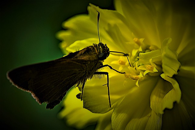 The 'Dark Skipper Butterfly' 'yearns' for light and colour...