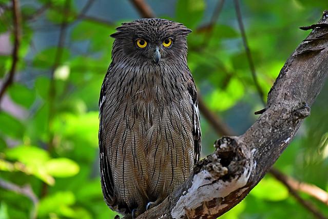 DSC_0996 Brown Fish Owl 1 Tadoba 2017
