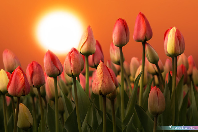 Tulips Before Bloom *Nature's Inspiration*