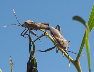 Crusader Bugs Mating 1