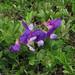 Flickr photo 'Lathyrus japonicus - merinätkelmä' by: pihlaviita.
