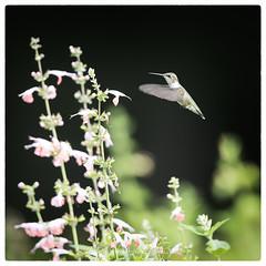 Hummingbird -10 copy_1