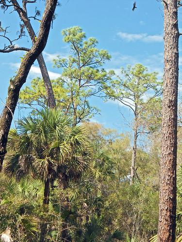landscape park woods forest trees palmtrees brush crystalriver florida