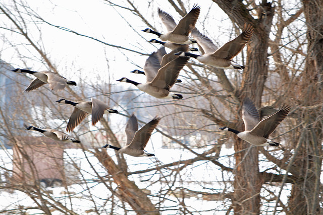 1-Jan Canada Geese (Made Explore)