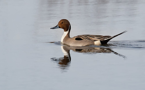 Northern Pintail | by Rob & Amy Lavoie