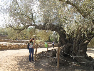 4. the oldest olive tree according to studies carried out by researchers at the Universidad Politécnica de Madrid | by Libe_reharq