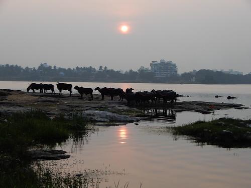 kolhapur maharashra india कोल्हापूर महाराष्ट्र भारत कोल्हापुर 馬哈拉施特拉邦 印度 sunset cows rankala lake sonnenuntergang coucherdesoleil