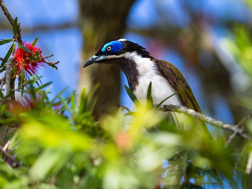 blue faced honeyeater on bottlebrush | by piggsyface