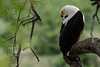 African Fish Eagle Preen by Duncan Wallace