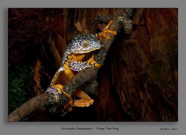 Cruziohyla Craspedopus - Fringe Tree Frog - (Nov 2017)