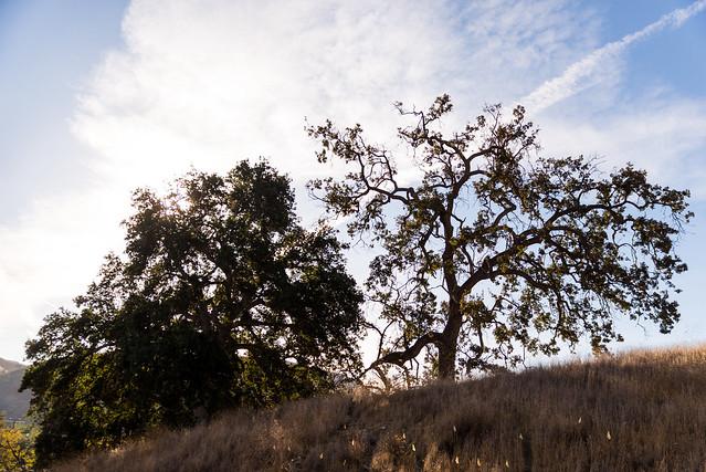 Santa Monica Mountains Planting: Calabassas