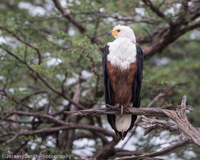African Fish Eagle, Haliaeetus vocifer, Hwange National Park, Zimbabwe