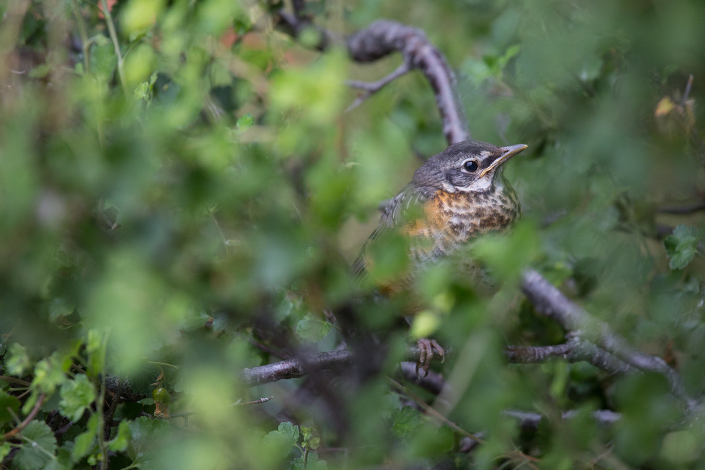 Juvenile American robin, Mammoth Hot Springs