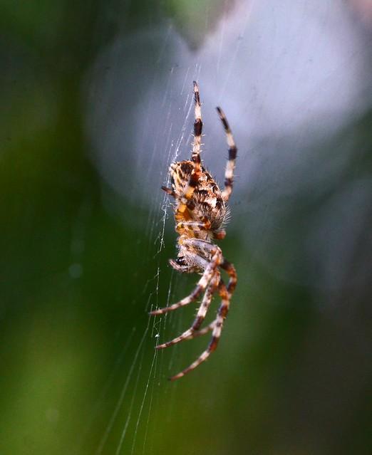 Cross Spider Araneus Diadematus