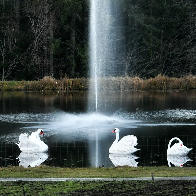 7 swans a-swimming . . .
