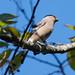 ウソ(Eurasian Bullfinch)