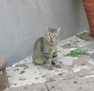 Old San Juan - Feral Cat