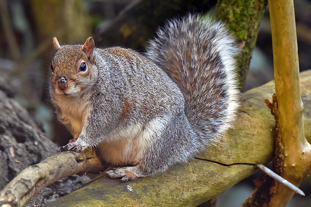 Fat Grey Squirrel