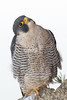_W4A0771 Peregrine (Falco peregrinus) by ajmatthehiddenhouse