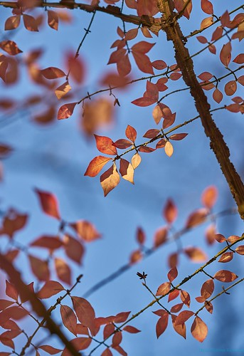 leaves blue sky tree branches autumn fall season foliage thanksgiving november sun light sunlight childhood home hometown leadinglines lines shapes geometry a7rii captureone golden nj nature vantagepoint viewpoint sony sonya7rii 85mm gmaster bokeh up parallel red orange dof princeton peaceful gratitude tranquil grateful mirrorless fullframe sel85f14gm