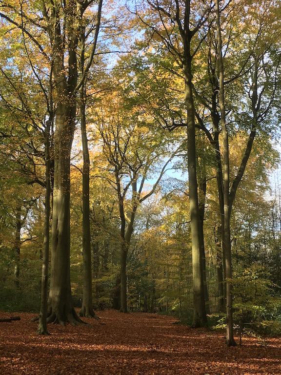 Chorleywood beech woods Chorleywood to Chesham walk, shorter start