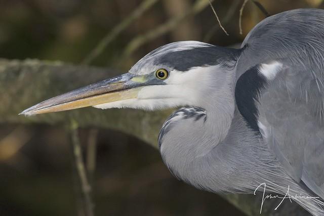 Grey Heron at Nene Park 05/11/17.