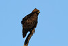 Aquila wahlbergi (Whalberg's Eagle) - South Africa by Nick Dean1