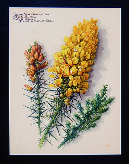 Botanical illustration of yellow Gorse blooms at Northstack Open-Air Museum on the Anglesey Peninsula in Wales