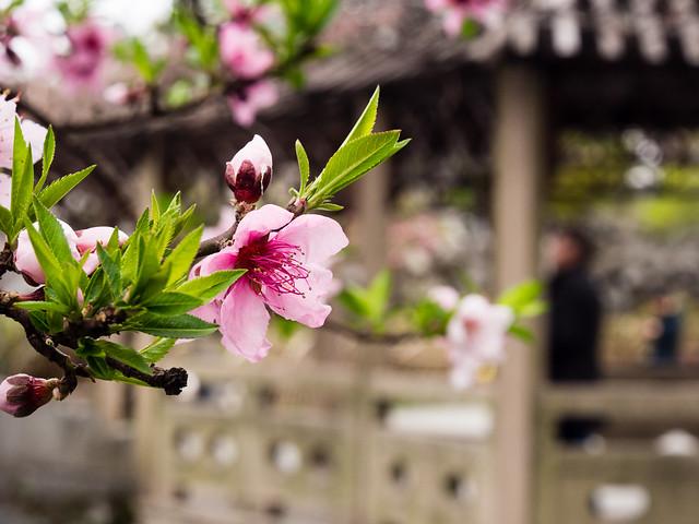 Suzhou - Lion Grove Garden, spring 2016