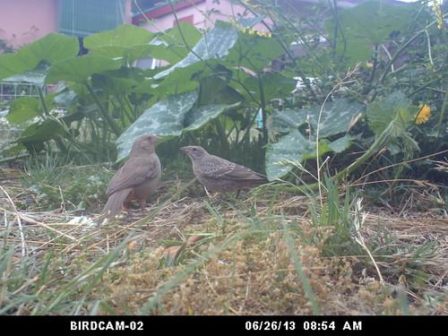 birdcam 2 birds around the pumpkin plant
