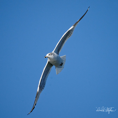 Gull Poses Perfectly | by dcstep