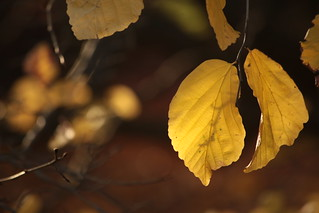 Golden Leaves | by Henry Hemming