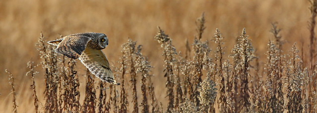 Short Eared Owl on the prowl - EXPLORE ©