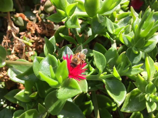 Aptenia Cordifolia and Bee