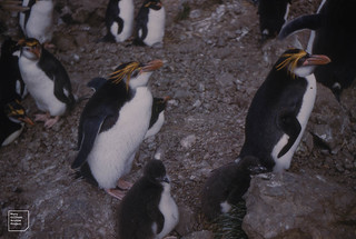 Well fed royal penguin chick. Macquarie Island