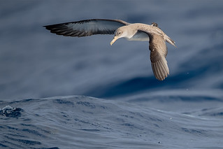 Cory's-Shearwater-juv-feeding_w_8227 | by Stephen Daly