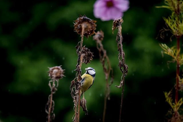 Vogelbesuch an einem verregneten Sonntag V