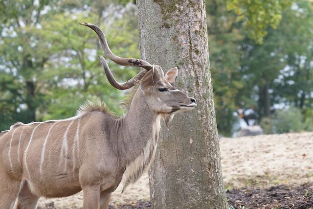 Greater kudu at Pairi Daiza 2017-10-08