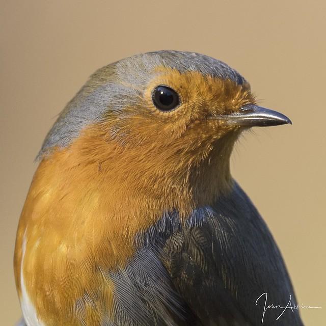 Robin portrait at Ferry Meadows 24/11/17.