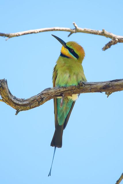 A male Rainbow Bee-eater (Merops ornatus)