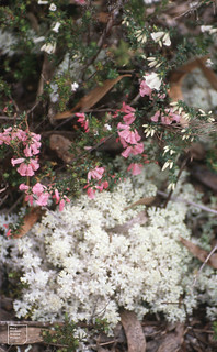 Epacris impressa 2 colurs and soft lichen as on button grass moors. Western Tasmania