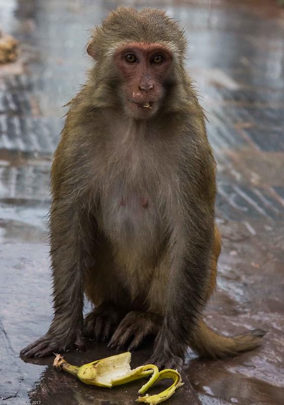 in Kathmandu_10 portret de maimuta